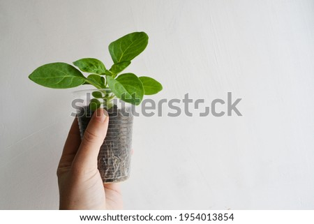 Seed germination at home. sprouted. Growing sprouts.  Concept green world earth day. Seed germination at home. sprouted. Growing sprouts. Foto stock ©