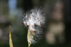 Seed head of Tropical Milkweed