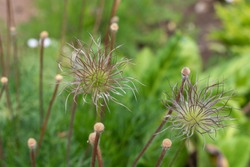 seed maturation in Pasque Flower or Pulsatilla vulgaris plant after flowering