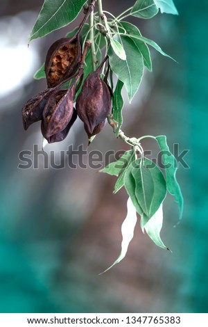 Seed pods hanging on the branches of Kurrajong or Bottle tree in Cyprus at winter season. Brachychiton populneus