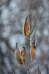 Seed pods holding seeds through the upcoming winter.