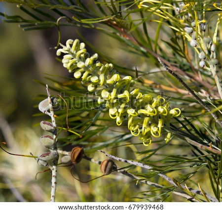 West Australian native wildflower white grevillea Images and Stock