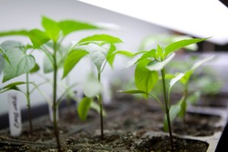 Seed Starting Indoors Growing Under Fluorescent Lights Flowers and Vegetables and Herbs