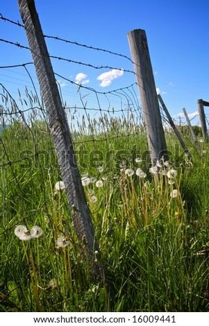 seeding dandelions along wire fence