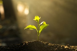 Seedling are growing in the soil with backdrop of the sunlight. Planting trees to reduce global warming.