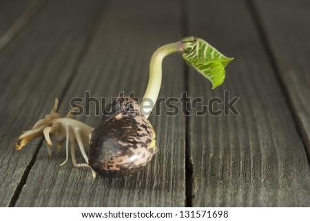 seedling bean