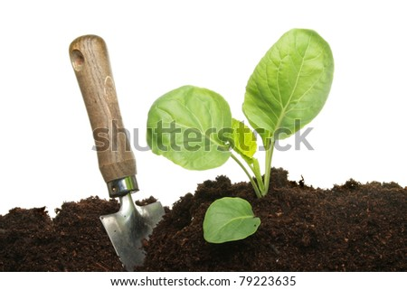 Seedling cabbage plant with a trowel in soil