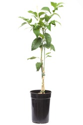 seedling citrus tree plant in the small pot , isolated on white