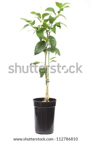 seedling citrus tree plant in the small pot , isolated on white - stock photo