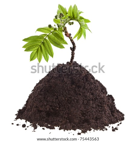 Seedling green plant in pile soil isolated on white background