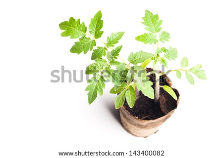Seedling greenhouse soil or tomato on a white background
