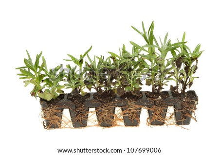 http://image.shutterstock.com/display_pic_with_logo/101122/107699006/stock-photo-seedling-lavender-plug-plants-isolated-against-white-107699006.jpg
