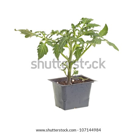 Seedling of a tomato (Solanum lycopersicum or Lycopersicon esculentum) in a black plastic pot ready to be transplanted into a home garden isolated against a white background