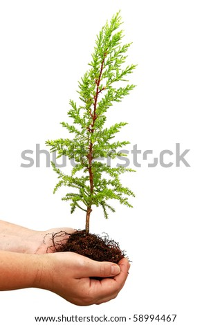 Seedling of cypress and human hand