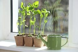 Seedling of plants in pots on window sill