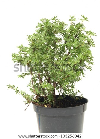 Seedling of potentilla in pot on white background