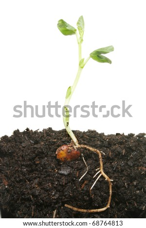 Seedling plant in soil showing germinated seed tender leaves and establishing root system