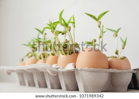 seedling plants in eggshells, eco gardening,  montessori, education concept, reuse