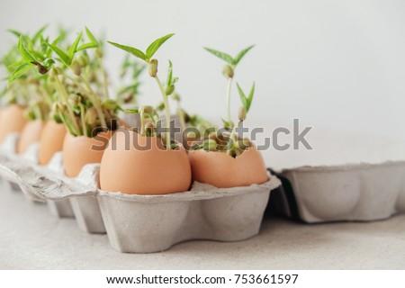 seedling plants in eggshells, eco gardening,  montessori, education, reuse concept