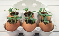 Seedling plants of cucumber in eggshells. Eco gardening. Reuse. Concept of environmentally friendly living. Plastic free, zero waste concept. Springtime. Easter.