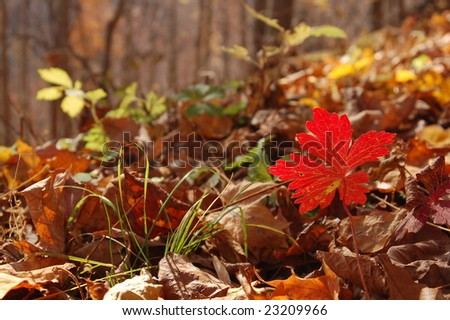 Seedling Showing Autumn Colors - Appalachian Mountains, Virginia