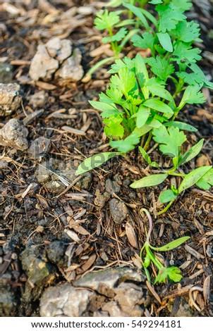 Seedling the vegetable in farm #549294181