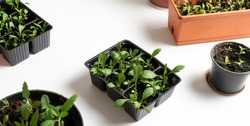 seedling tray, planting seeds on the  table at home,domestic green life