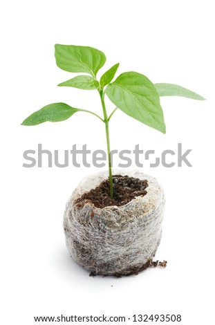 Seedling vegetable plants grown in a peat briquette on a white background