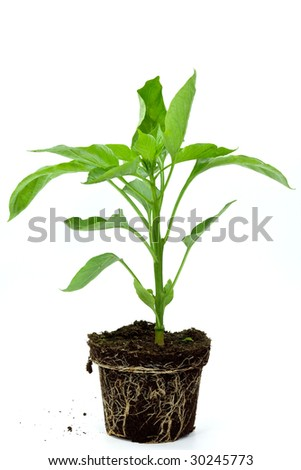 Seedlings illustrating the concept of new life-capsicum annuum