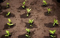 seedlings in the garden on black soil