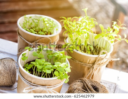 Seedlings of basil, coriander and parsley in an urban vegetable garden