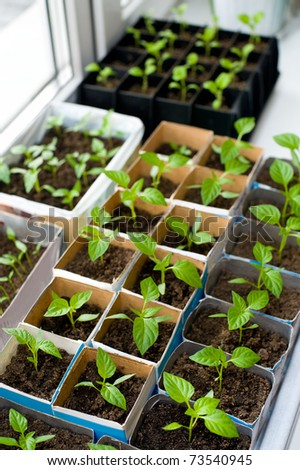 seedlings of bell pepper in cardboard boxes, on a windowsill