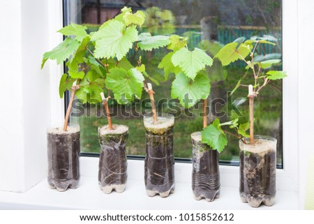 Seedlings of grapes in plastic pots on the windowsill, grape shoots, small vine ready for planting in the ground #1015852612