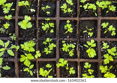 Seedlings of herbs and vegetables growing in grid starter tray