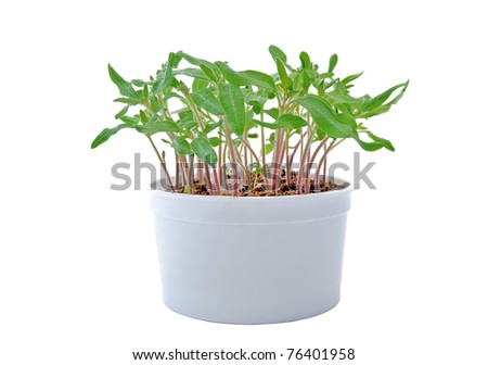 Seedlings of tomato in a white pot