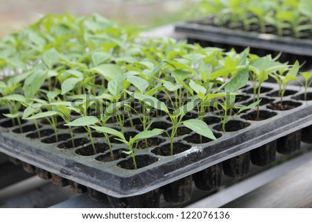 Seedlings on the vegetable tray.