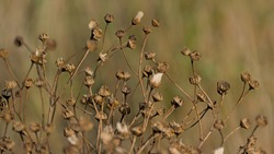 Seedpods of a narrow-leaved ragwort plant, selective focus with creamy bokeh background