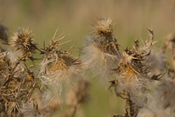 Seedpods of a thistle plant, selective focus with creamy bokeh background - Silybum marianum