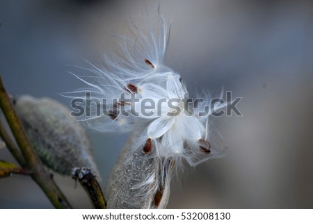 Seeds and filing from fully opened Milkweed seed pod