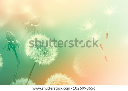 Seeds. Fluffy dandelion flower against the background of the summer landscape.  - Shutterstock ID 1026998656