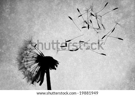 Seeds fly off of a dandelion