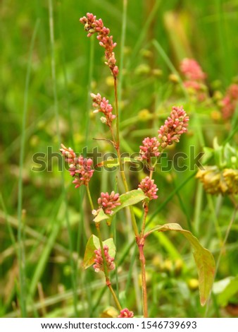 seeds of common knotgrass, Polygonum aviculare,
