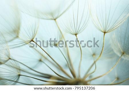 Seeds of damn beard flower (Tragopogon dubius). - Shutterstock ID 795137206