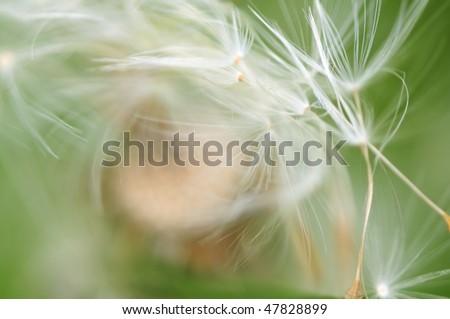 Seeds of dandelion fly away - Shutterstock ID 47828899