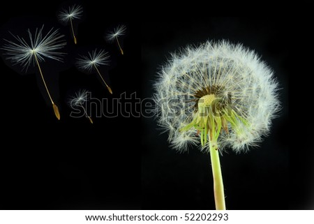 seeds of flower dandelion on black