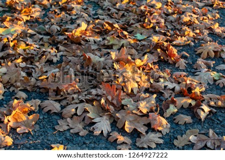 Seen from above, dry oak leaves on dark packed gravel are highlighted by slanting afternoon sun, for a natural texture of fall. #1264927222