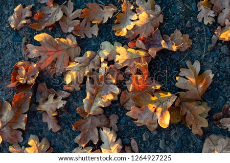 Seen from above, dry oak leaves on dark packed gravel are highlighted by slanting afternoon sun, for a natural texture of fall. #1264927225
