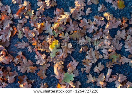 Seen from above, dry oak leaves on dark packed gravel are highlighted by slanting afternoon sun, for a natural texture of fall. #1264927228
