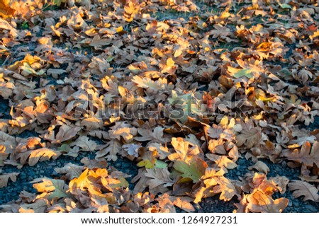 Seen from above, dry oak leaves on dark packed gravel are highlighted by slanting afternoon sun, for a natural texture of fall. #1264927231