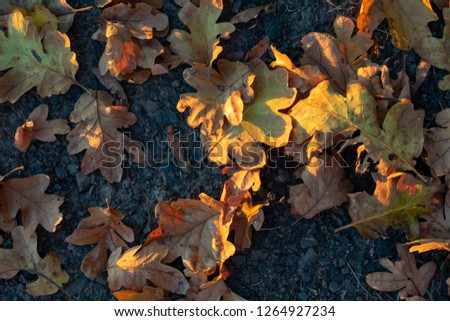 Seen from above, dry oak leaves on dark packed gravel are highlighted by slanting afternoon sun, for a natural texture of fall. #1264927234